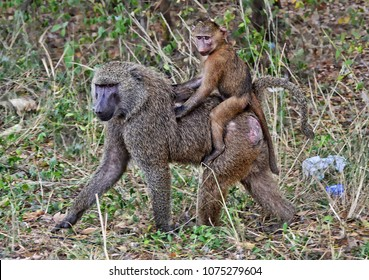 Monkeys in a bush. Baboon walks and carries on a baby on its back. African wildlife. Close up. Amazing image of a wild animals in natural environment. Awesome portrait of olive baboons.
