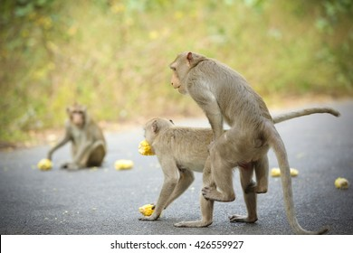 Monkeys during copulation, Thailand.