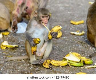 Monkeys eating bananas, Monkey Temple of Jaipur, India
