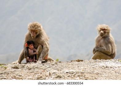 Monkeys family in Saudi Arabia (Abha Mountains)
