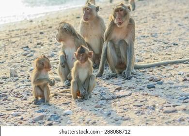 Monkey's family seats on the shore of the monkey island