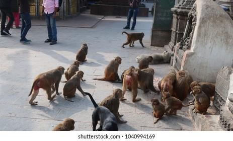 Monkeys feeding in Kathmandu
