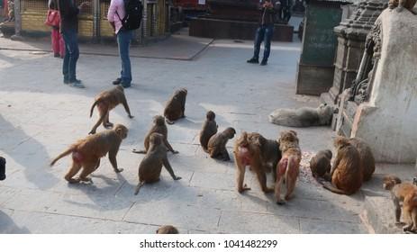 Monkeys feeding in Nepal