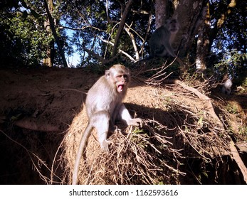 Monkeys Of The Forest In The Morning Sunshine At Wanagiri Village, Buleleng, Bali, Indonesia