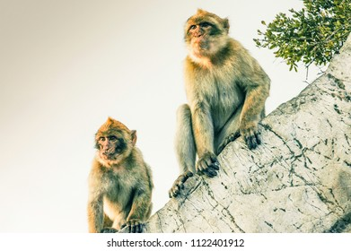 Monkeys of Gibraltar contemplating the sunset on the rock