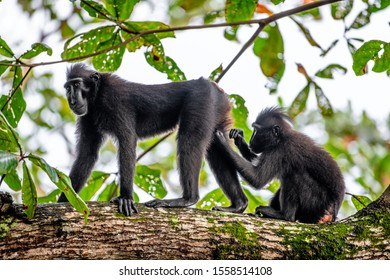 Monkeys grooming one another.  The Celebes crested macaques on the branch of the tree. Close up portrait. Crested black macaque, Sulawesi crested macaque, sulawesi macaque or the black ape.