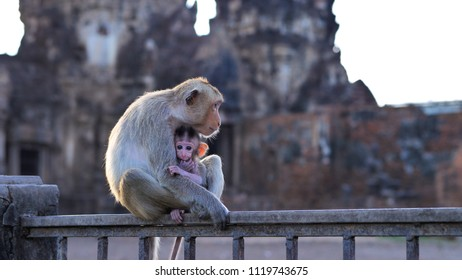 Monkeys living in Phra prang Sam Yot, Slow motion  An ancient and historical attractions and one of the most important archaeology of Lopburi province thailand.