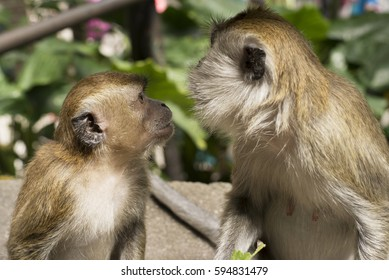 Monkeys look at each other