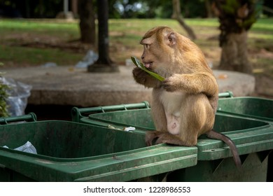 Monkeys are looking for food scraps from dirty trash to eat. Monkey eating food from dirty trash.