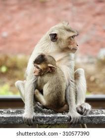 Monkeys love, Lopburi central of Thailand