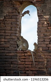 Monkeys - macaque rhesus