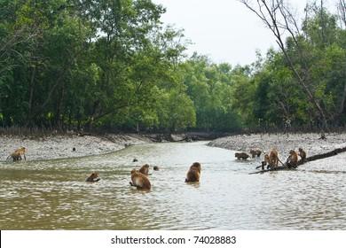 Monkeys in Mangrove Forest, Klong Kone, Thailand