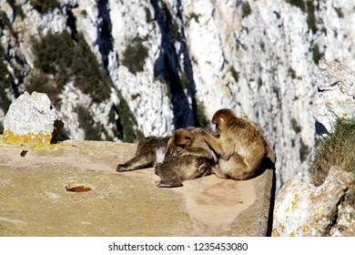 Monkeys over the rock of Gibraltar in Europe.