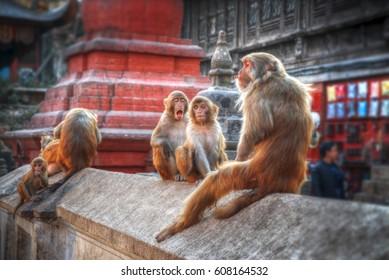 Monkeys in Pashupatinath Temple , Kathmandu, Nepal.