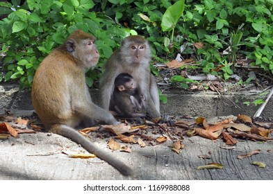 Monkeys playing in a street of the village of Tonsai, between Ao Nang and Railay in the Krabi Province, Thailand