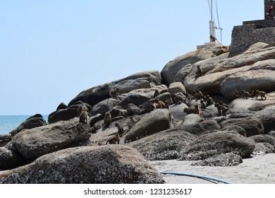 The monkeys are running on rocks. Beachfront Hua Hin Thailand