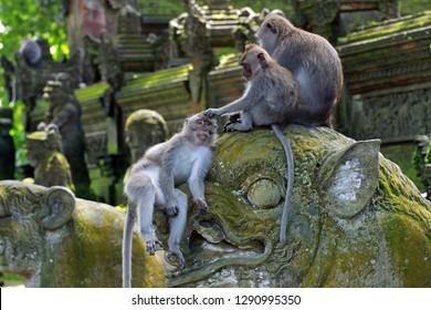 Monkeys in Ubud Monkey Forest, Mandala Suci Wenara Wana, Ubud, Bali, Indonesia