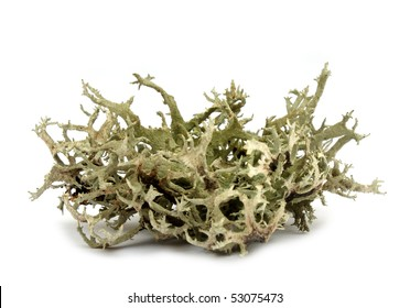 Monk's hood lichen (Hypogymnia physodes), a very common lichen growing epiphyttic on threes. Used as an indicator for air pollution, and for dyeing yarn.