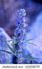 Monks Pepper, Vitex agnus-castus, also called vitex, chaste tree, chasteberry, lilac chastetree, monk's pepper, is a native of the Mediterranean region, macro photography