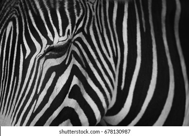 Mono close-up of Grevy zebra closing eye