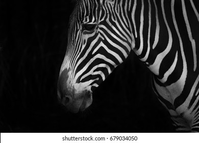 Mono close-up of Grevy zebra looking down