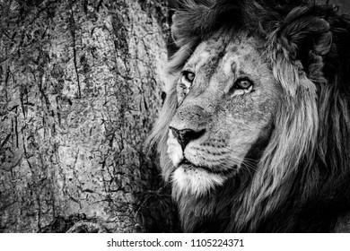 Mono close-up of male lion beside tree