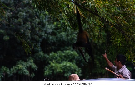 mono monkey hanging from tree playing with zoo keeper in guatemala