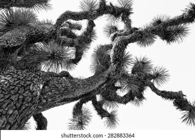 Monochromatic image of a Joshua tree