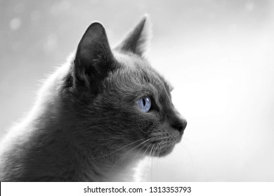 Monochrome black and white of a adult feline cat sitting indoors with a profile view and staring at the wall with blue eyes