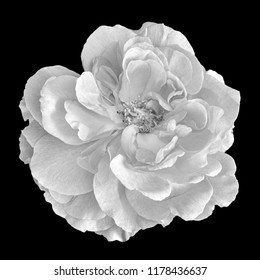Black and white flower images stock photos vectors shutterstock monochrome black and white fine art still life bright floral macro flower portrait of a single mightylinksfo