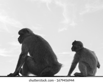 monochrome, black and white image of monkeys in Gibraltar. Some light clouds on the sky in the background. Barbary macaques in Gibraltar. Known locally as Barbary ape or rock ape, despite being a monk
