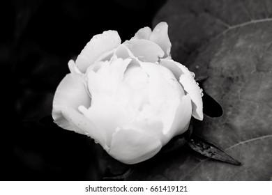 Monochrome Black and White Peony Bud