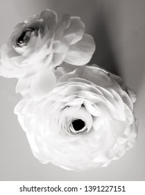 Monochrome Black and White Ranunculus Flowers