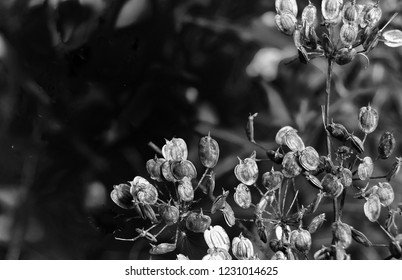 monochrome close up nature abstract with dry seed heads of the cow parsnip in early autumn against a dark blurred background