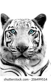 monochrome Cute white tiger on white background with clipping path