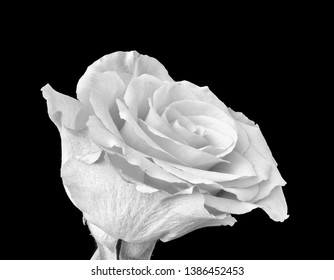 Monochrome fine art still life bright macro of a single isolated white rose blossom with small leaves in vintage painting style on black background