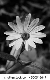 Monochrome Flower Photograph