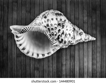 Monochrome image of Charonia tritonis or Triton's trumpet on a wooden background.