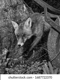 Monochrome image of a garden fox