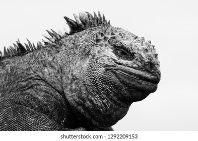 A monochrome image of a marine Iguana in the Galapagos