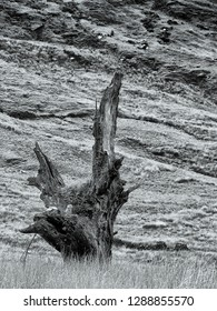 A monochrome image of an old broken dead tree trunk infant of rugged rough pennine hillside landscape with rocks and paths in west yorkshire