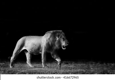 Monochrome image of a wild African Lion