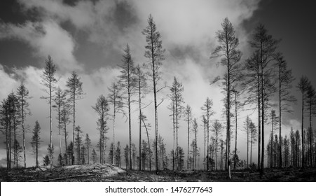 Monochrome inage of burnt trees after forest fire