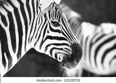 monochrome photo  - detail head zebra in ZOO