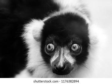 Monochrome Portrait of a very cute Black and White ruffed lemur