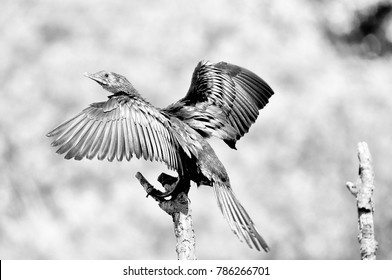 Monochrome Reed Cormorant also known as Long-tailed Cormorant in Bloemfontein, South Africa