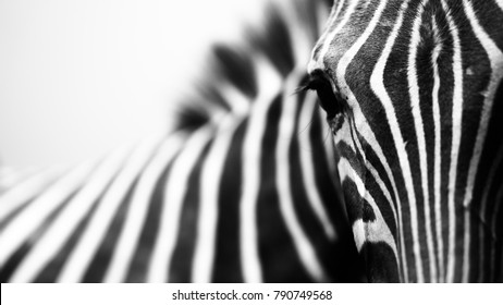 Monochrome, shallow depth of field image of a zebra with head and eye in focus and stripes in soft-focus