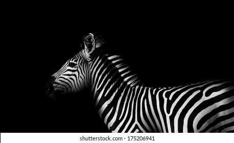 Monochrome side view of a wild African zebra