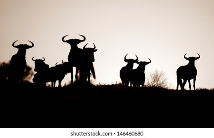 A monochrome silhouette of a herd of Blue wildebeest against a amazing African sunrise. Taken on Safari in Kenya. The great migration.