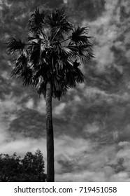Monochrome Sugar Palm Tree on Dark Cloudy Sky / Mysterious Concept for Halloween Theme